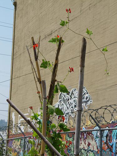 Scarlet beans head for the heavens at Highland Park's community garden.