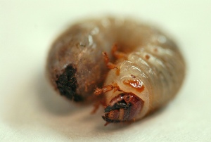 The beetle as a grub. Not so pretty now are they? (Photo by Rob Swatski via flickr)