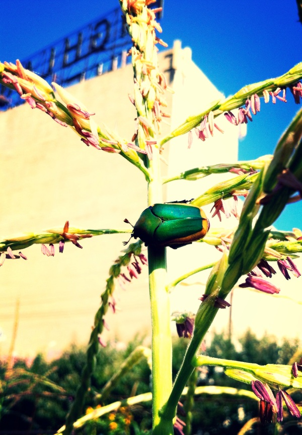 Not a June Bug, but a Figeater beetle