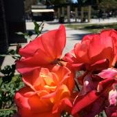 Rose gardens. Huntington Park has lots of rose gardens.