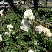 1973 Rose Garden for Richard Collins, pilot lost over Laos during a bombing run in 1969.